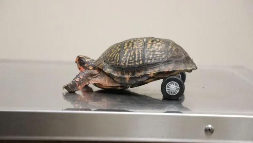 影/獸醫用樂高幫「沒有腳的烏龜」做輪椅 裝上後「快到變小跑車」!