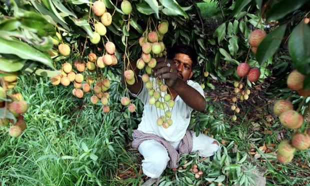 印度47名兒童「吃荔枝」竟接連離世...醫生揭發裡面「超毒物質」:現在無解!