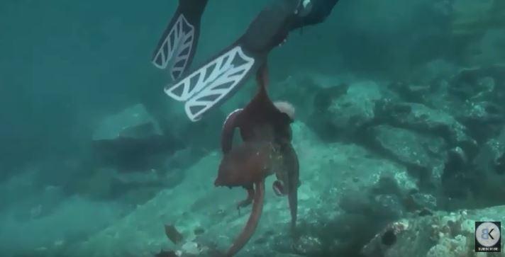 影/潛水員巧遇「2公尺大章魚」被當獵物 猛拖進巢穴...他差點變晚餐!