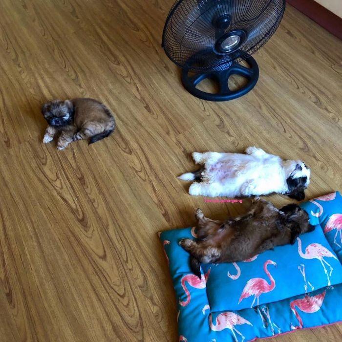 20張呆萌小西施「翻肚肚躺好」超魔性睡姿 「走到哪睡到哪」把自己當人類!