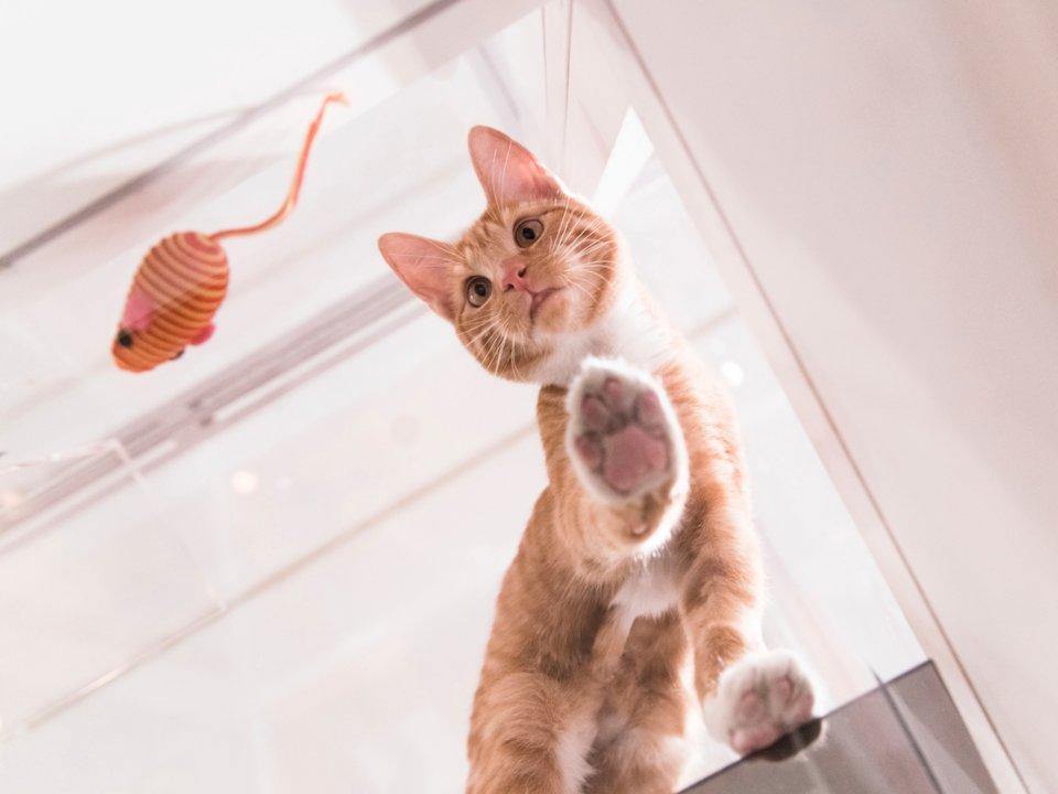11個貓皇「其實有點喜歡你」的示愛小動作 「舔你的頭髮」表示牠有話想說!