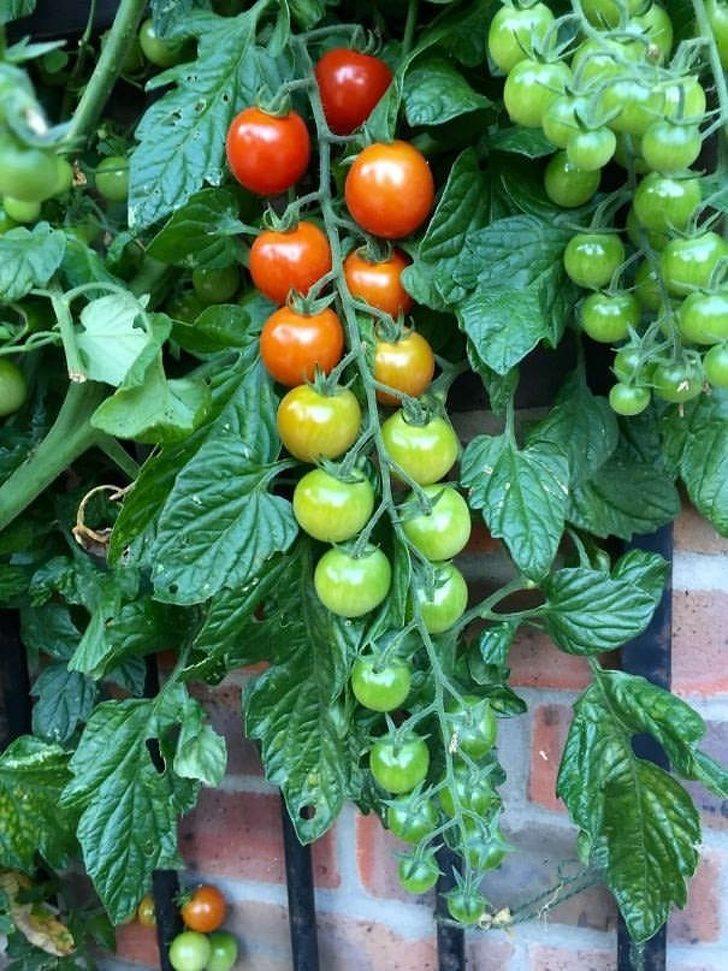 24張「給你眼睛溫暖spa」的完美治癒照 自然長出來的番茄居然依照顏色自動排列了~