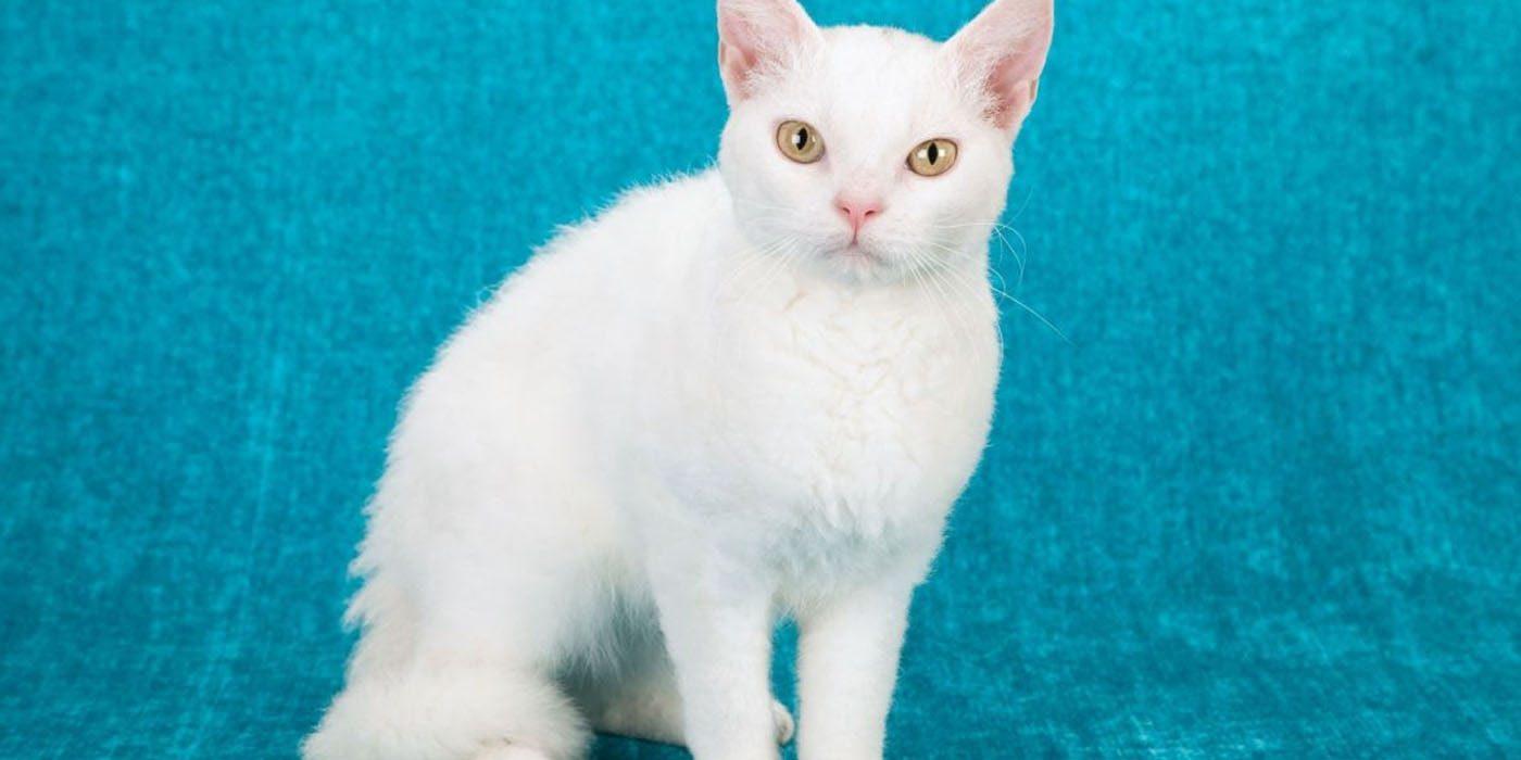 這就是世界上「TOP10最貴的貓品種」!第一名美到像精靈一樣...但價格可以買房了