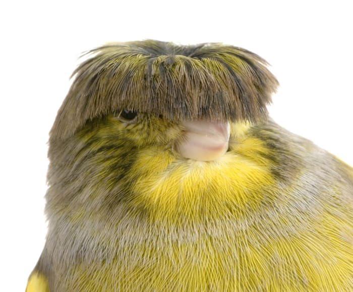瀏海被剪壞了!超傻萌小鳥「左看右看」直戳笑點:好想幫牠撥
