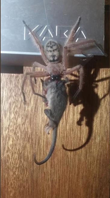 夫妻意外拍下獵人蛛「把負鼠吞一半」 專家看照片嚇壞:牠們不該存在同個地方!