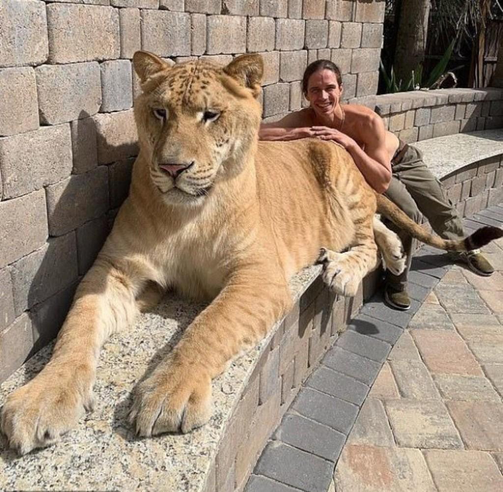 巨大白獅虎「319公斤」體型大到嚇人 牠「開心跑步」卻讓網友心疼:人類太壞了!