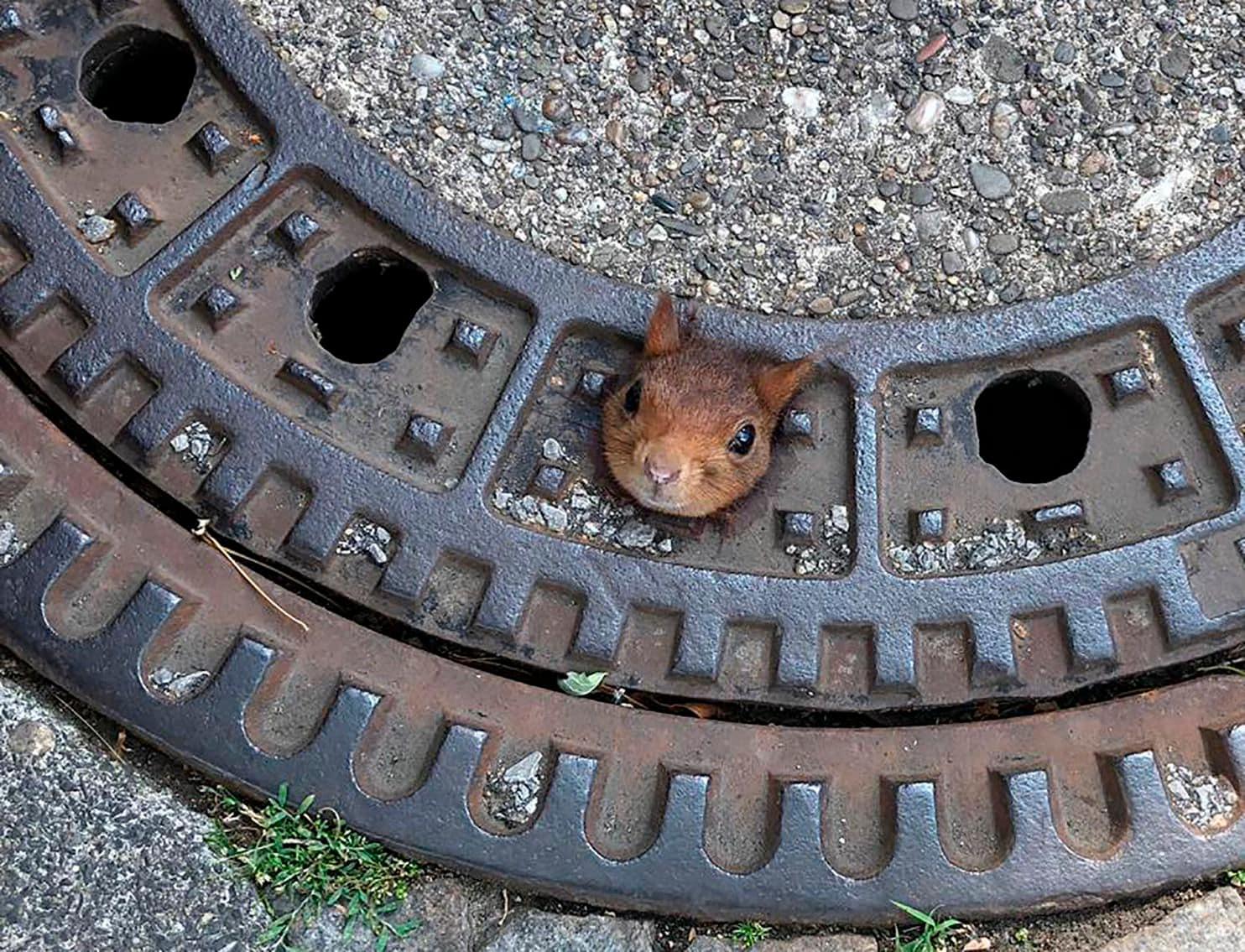 小松鼠吃太多「頭卡水溝蓋」出不來 警消獸醫「神救援」網笑翻:臉好尷尬~