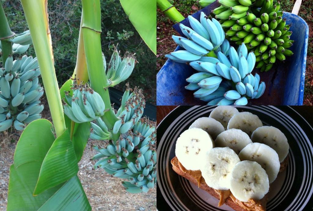 純天然藍蕉爆紅!網試吃發現有「香草」的味道 「超完美口感」被狂讚:像在吃哈根達斯