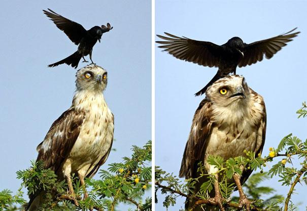 18張證明烏鴉是「白目界的國王」超屁孩爆笑照!貓皇在樹上休息...然後就悲劇了