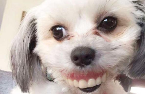 阿公把假牙放桌上「睡醒卻被偷走」 萌犬轉過頭「露齒憨笑」讓他笑瘋!