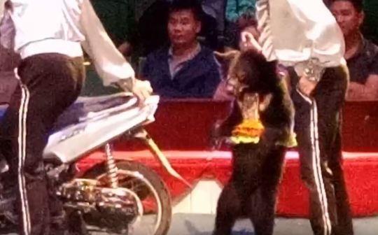 小熊被逼「騎機車」超危險表演!失誤摔車「被血腥修理」畫面曝光...全網怒了