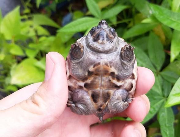 他請阿嬤幫忙照顧小烏龜...半個月後暴肥到認不出!「正面照」笑翻全網:都擠出來了