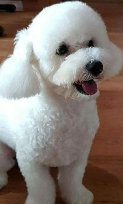 他以為貴賓狗「毛太厚」看起來超胖 帶去剃毛才發現「超結實六塊肌」嚇傻:怎麽練的?