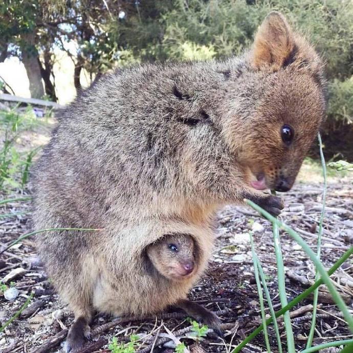 世界最快樂動物「短尾矮袋鼠」連雷神也被收服 超蠢萌「笑著丟掉寶寶」轉移敵人注意力!