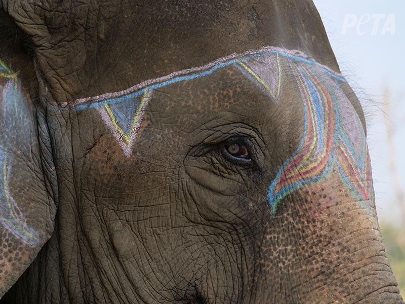 尼泊爾「奇旺大象節」黑暗影片曝光!用長矛逼大象做「指定動作」贊助商爆怒退金援