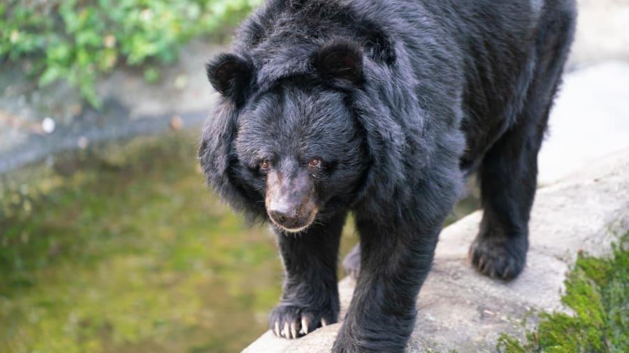 CNN罕見頭條報導「台灣黑熊」全面消失中!發出「最心碎警告」:沒人知道剩幾隻