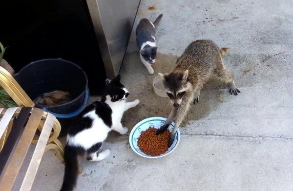 動物「被美食迷到失去理智」的搶食照片 刺猬「狂吃貓糧」貓皇的臉超無奈!