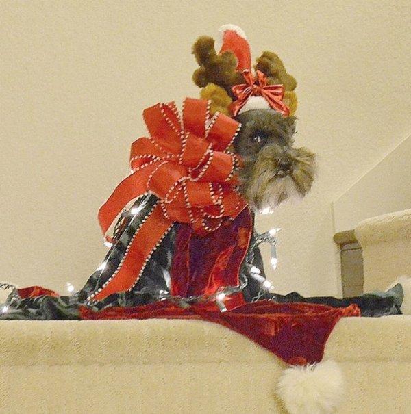 19個「一不小心就變成惡整」的狗狗尷尬照 汪星人變成「聖誕禮物」眼神全是委屈!