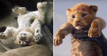 《獅子王》超萌「動畫原型」曝光 活生生的「小辛巴」讓影迷尖叫:竟然能更可愛!