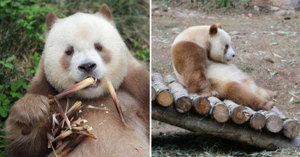 熊貓竟然不是黑色的?「棕色大熊貓」變色秘密曝光:分開「30萬年」oreo才變巧克力