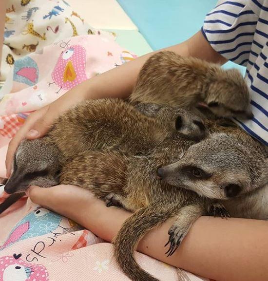 太萌啦~最新「狐獴咖啡廳」成打卡熱點 塞在一起「睡你腿上」畫面療癒到不行!