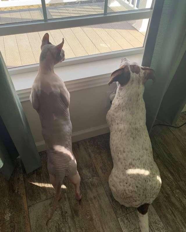 超肥無毛貓靠吃解寂寞「比正常貓胖3倍」 奴才「花2年幫甩肉」對比照片超勵志!