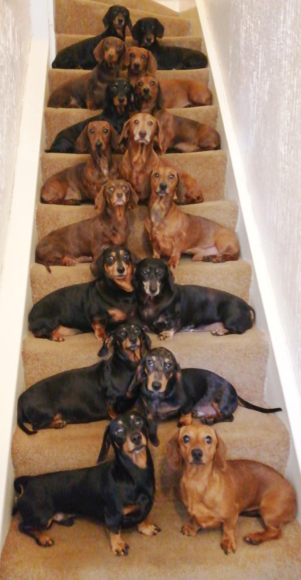 連表情都一樣!他成功拍出「16隻臘腸犬」的奇蹟合照 網發現「秘訣」後笑翻:太神了