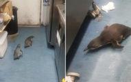 藍企鵝「在壽司店築巢」被老闆趕走 幾個小時後牠們「偷偷回來」的真相超深情!