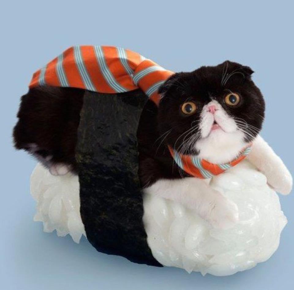 如果「貓咪是壽司」怎什麼樣子?白美喵「鮭魚卵當皇冠」超跩眼神萌度爆錶!