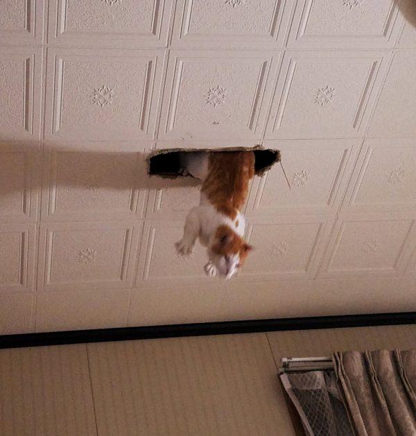 網友老家天花板「莫名被鑽洞」...抬頭卻驚見「白影飛下來」他超無奈:每天至少1次!