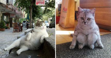20張比網美還會的「貓咪淑女坐」怪萌照 牠坐桌邊「喬姿勢」動作超專業