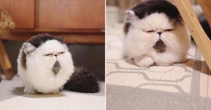 真的不是球?超圓滾「跩臉小貓咪」爆紅 靠招牌「厭世瞇瞇眼」變貓界網紅!