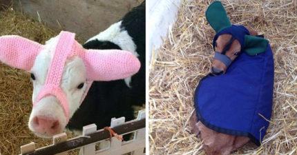 農夫打造「小牛專用」超可愛防凍傷保暖帽!卻被網友「寫實神回覆」狠狠打回現實
