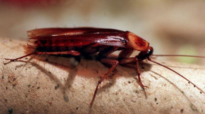 「蟑螂」在未來幾乎無法滅絕!研究發現牠們「能力暴升6倍」憂慮:人類造成的