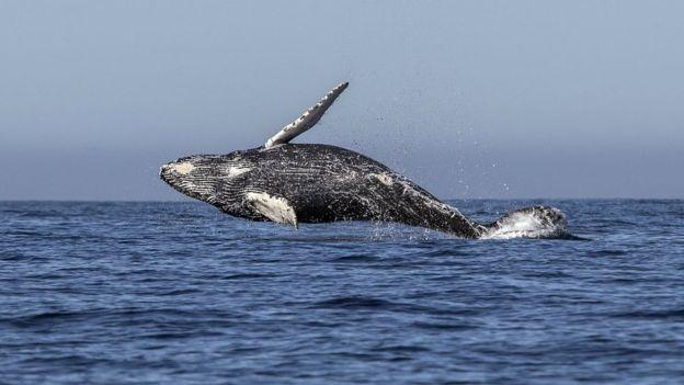 日本宣佈重啟捕鯨業!官方保證「持續100年」也不會有問題...鯨魚肉月底上市