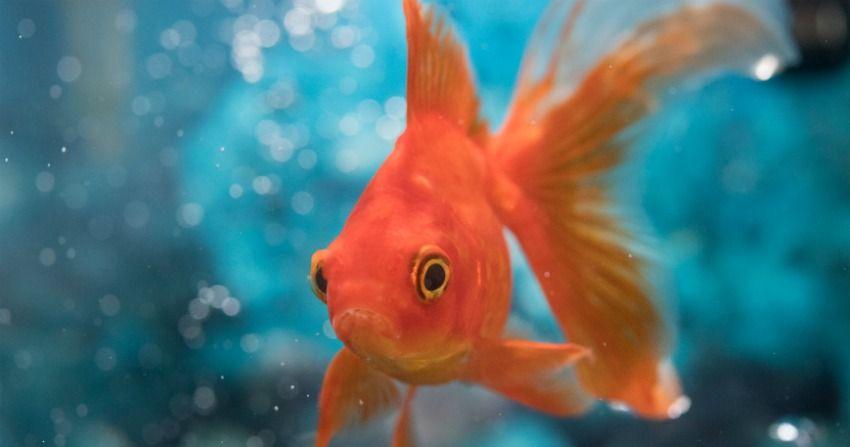 影/他為寵物金魚打造「世界第一座」水中輪椅 意外發現「壽命秘密」打破紀錄!
