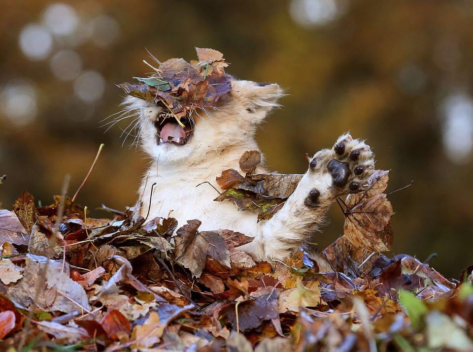 根本是大貓咪!小獅子「跟落葉躲貓貓」超萌照爆紅 「興奮→惱怒」表情太融化~