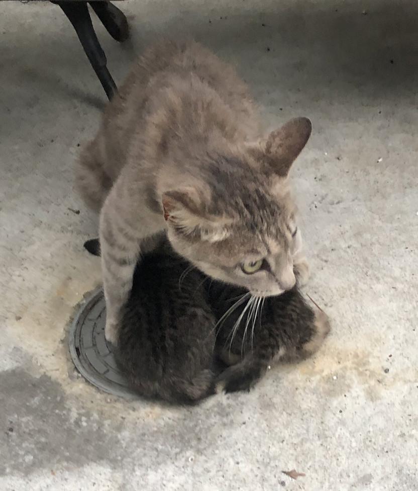 下暴雨了!貓媽媽竟做出「超有愛舉動」保護寶寶 網友近看全被感動:母愛好偉大QQ