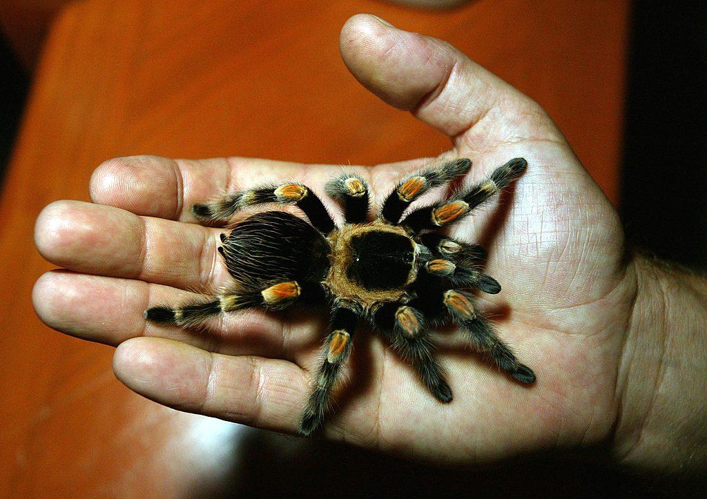 牠被譽為「世界上最可愛」的蜘蛛 網放大看「獨有特徵」秒懂:貓奴的最愛❤