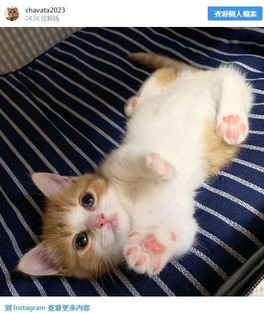 短腿貓「超卡通睡姿」爆紅!睡覺時「舉起4隻粉紅球」貓奴暴動:這顏色是喵界瑰寶