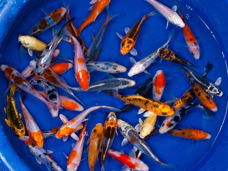 明星都在養什麼寵物?盤點名人「TOP10最昂貴寵物」 女神卡卡「150萬的魚」才不是最狂的