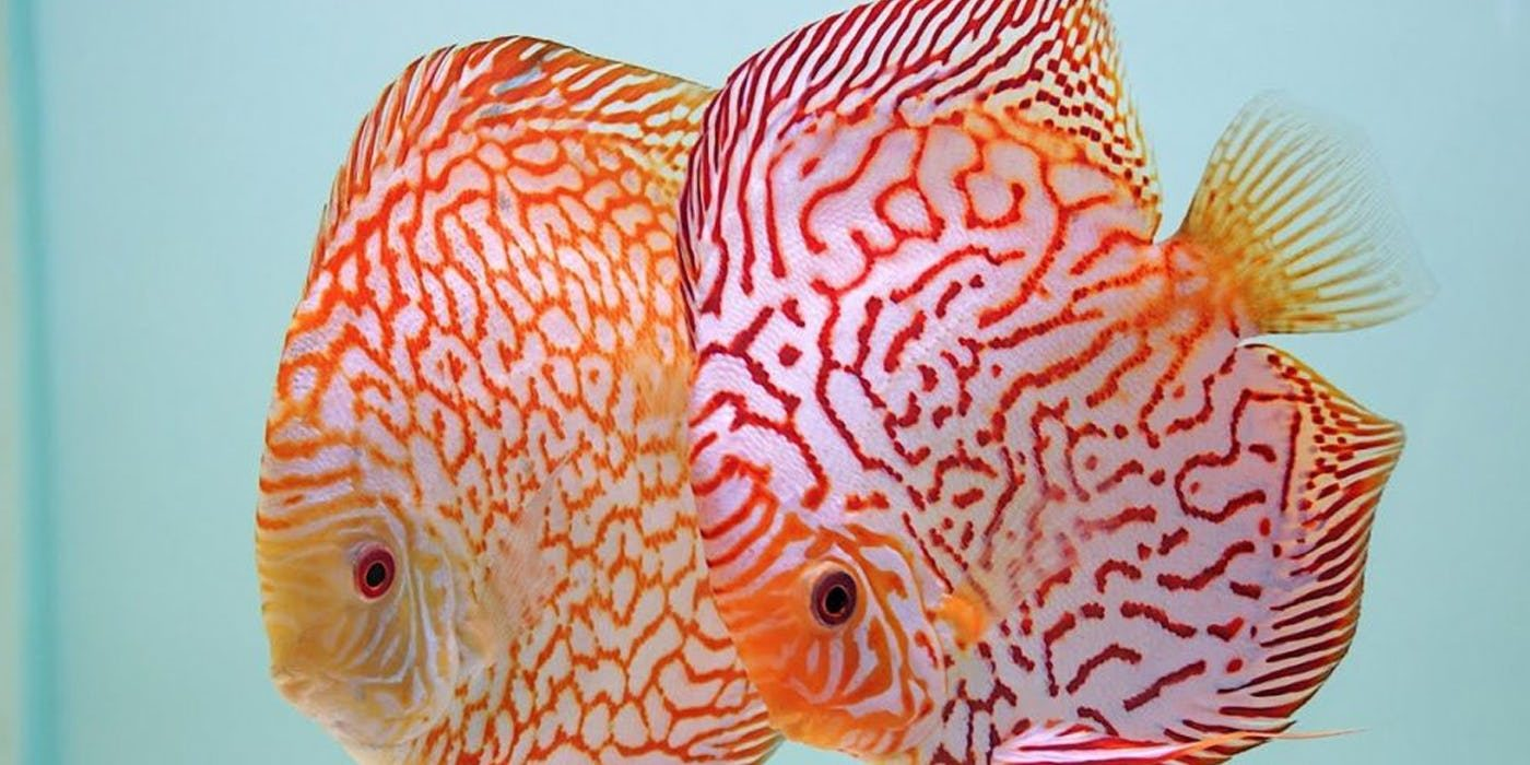 你都有看過嗎?盤點「TOP10最昂貴的寵物魚」 第一名常常出現在畫中!