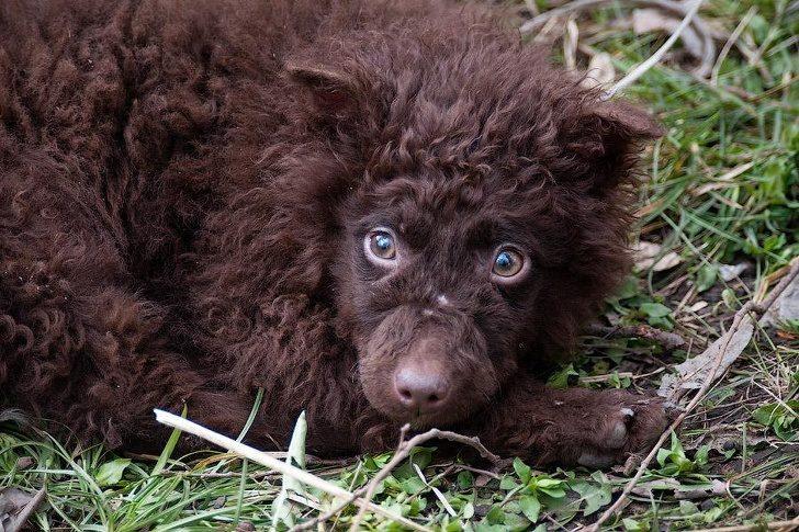 20隻被譽為「狗界天菜」的獨特汪星人 牠因「全身罕見毛髮」被人類誤以為是黑豹!
