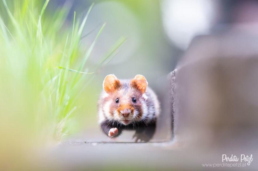歐洲倉鼠「被當害蟲」就快絕種 激萌「可愛日常」讓網心疼:怎麼捨得!