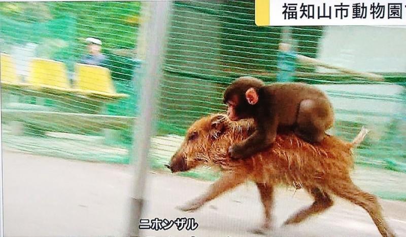 超聰明彌猴!動物園大明星變「野豬騎士」狂奔 政府祭出「最強引誘術」也失敗