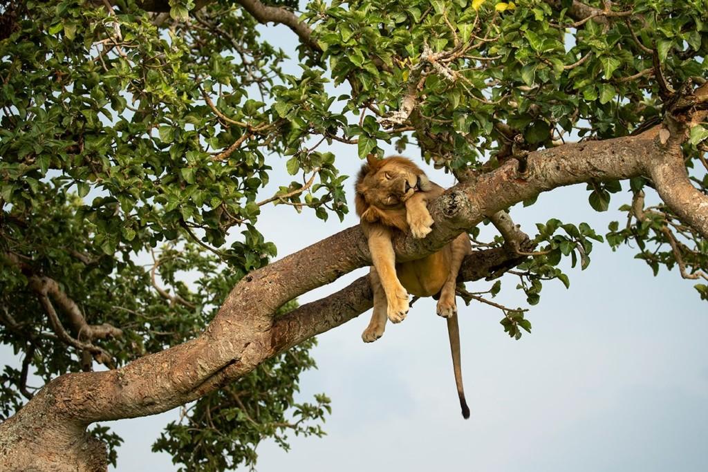 攝影師拍下「獅子爬樹睡午覺」的壯觀畫面 下一秒驚現「肚腩大叔」網笑翻!
