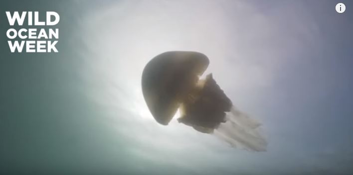 影/潛水員驚現超詭異「巨型水母」 比人類「大好幾倍」專家卻曝:還有更大的