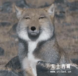 動物界的表情帝「藏狐」面癱照爆紅 經典「不屑鄙視臉」變表情貼圖主人公!