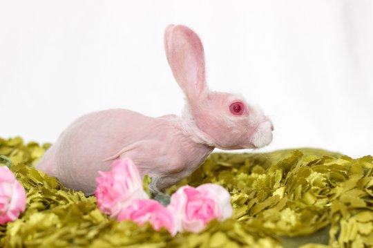 超罕見「粉紅無毛兔」爆紅 專家預言「活不過4歲」主人一個舉動被讚爆!