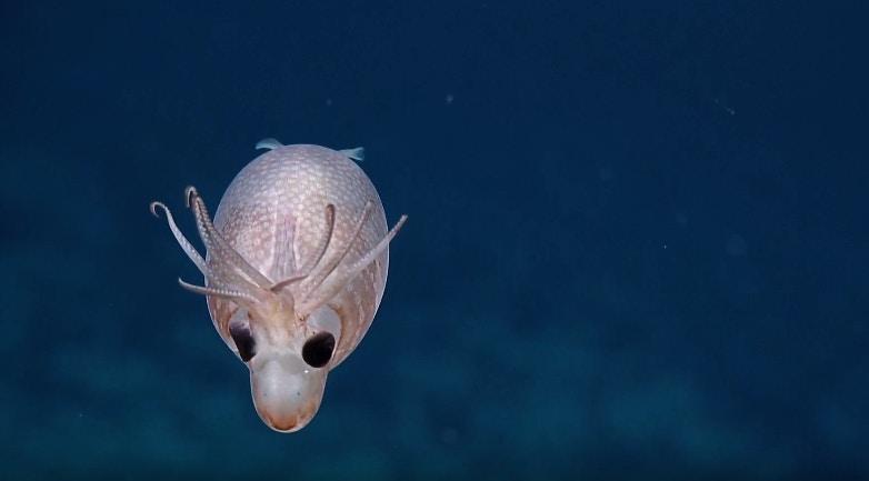 超罕見生物「小豬魷魚」曝光!「半透明體」配超Q觸鬚引暴動 專家:牠神經很大條